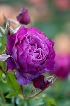 Rosa 'Wild Blue Yonder', grandiflora rose, All America Rose Selection