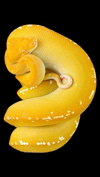 Green Tree Python (Yellow Phase)