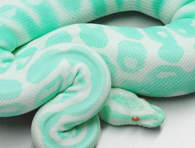 a pretty Snake