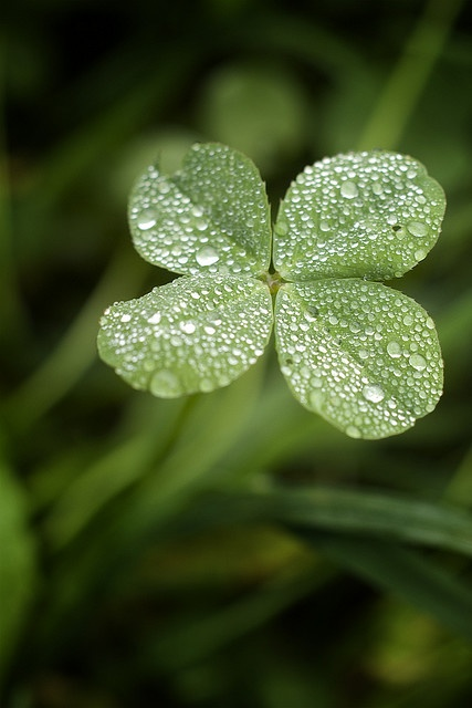 The Four Leaf Clover by {Ziggy} on Flickr