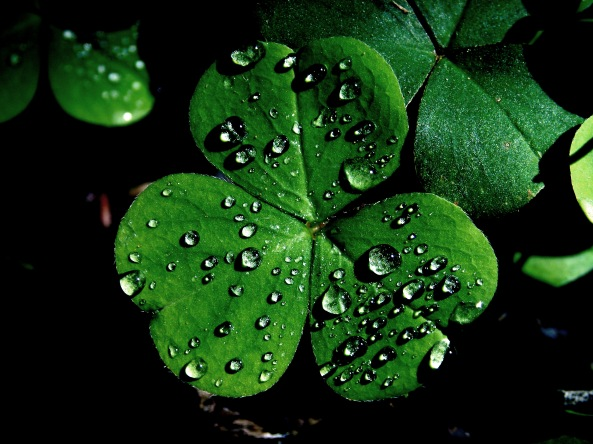 The Shamrock ~ Three Leafed Clover