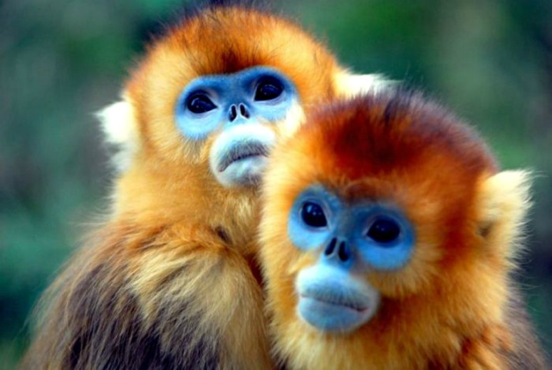 golden snub nosed monkey 2