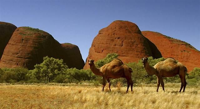 camels-australia.grid