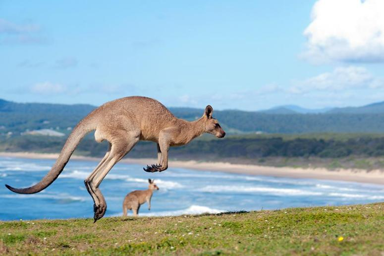 kangaroo's on the beach