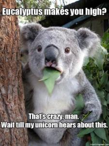 koala-eucalyptus-pic
