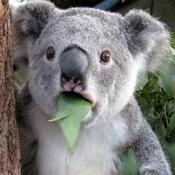 Koala-Facts